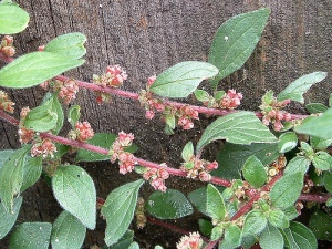 Wall Pellitory or Pellitory on the Wall