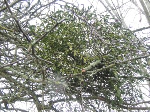 The amazing (for me) mistletoe!