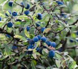 Blackthorn tree with its purple-black sloes.