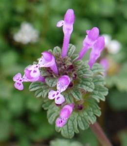 Henbit in flower