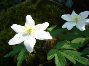 Wood Anemone or Windflower
