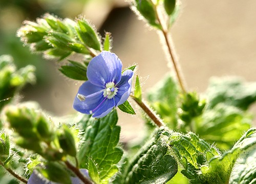 Germander Speedwell.
