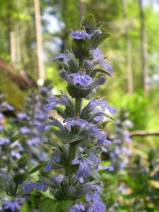 Blue Bugle by http://www.plantlife.org.uk