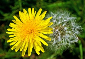 Dandelion flower and seed head. From http://www.publicdomainpictures.net