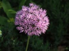 allium flower old thatch bourne end