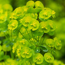 Wood Spurge by http://www.bbc.co.uk