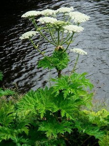 Cow Parsnip or Hogsweed from http://wildflowerfinder.org.uk