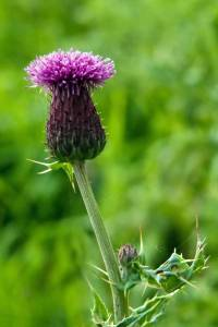 Field Thistle from http://focusonlyme.files.wordpress.com