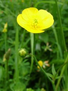 Meadow Buttercup by http://www.hawk-conservancy.org