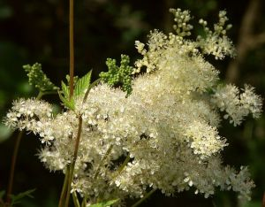 Meadowsweet from http://wildflowerfinder.org.uk