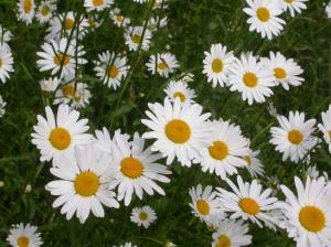 Dog Daisy or Ox-Eye Daisy from http://www.plantlife.org.uk