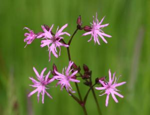 Ragged Robin from http://warehouse1.indicia.org.uk