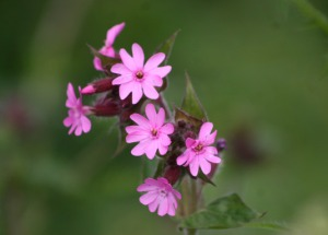 Red Campion by http://www.pyb.co.uk