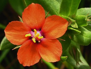 Scarlet Pimpernel by http://4.bp.blogspot.com