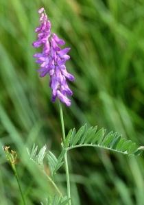 Tufted Vetch by http://www.plantlife.org.uk