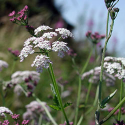Hedge Parsley from http://www.reallywildflowers.co.uk
