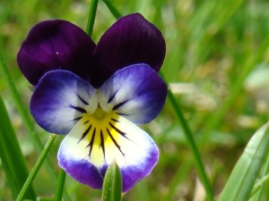 Wild Pansy or Heart's-Ease by http://www.organicsoul.com
