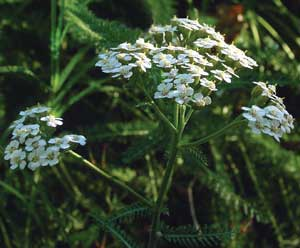 Yarrow by http://www.flowersociety.org