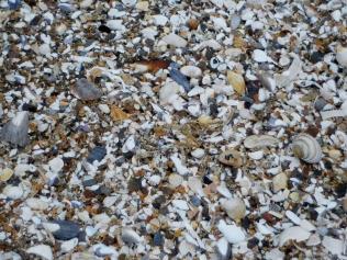 Shells at Tentsmuir Beach