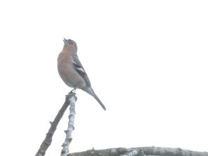 A charming chaffinch (to go with my goldfinch!).