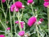 Pink thistles