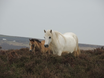 A wild mare and her young foal on top of the Long Mynd. A LUCKY Wildlife shot.