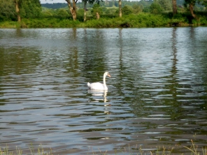 A swan on the Thames at Bourne End