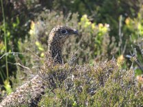 A wild grouse - another of my LUCKY wildlife snaps!