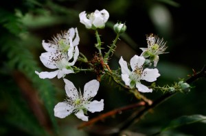 Blackberry Bramble flowers from http://urbanbutterflygarden.co.uk