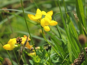 Bird's Foot Trefoil by Stephanie Woods