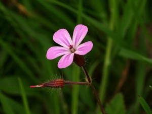 Herb Robert from http://www.english-country-garden.com
