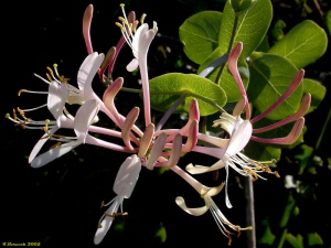 Honeysuckle from http://i1.treknature.com
