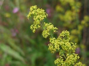 Yellow Bedstraw from www.cotswoldseeds.com