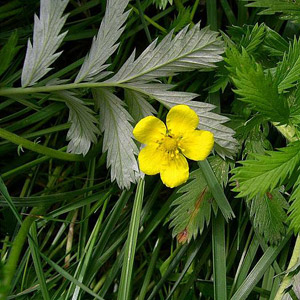 Silverweed from http://www.liveandfeel.com