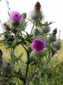 Proper Scottish thistles