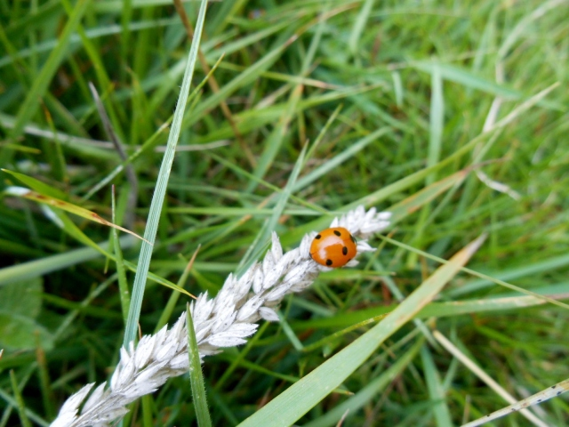 A ladybird I met on a walk at the Crags of Lundie.