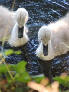 Two cygnets on the water in the park (Parents were nearby!)