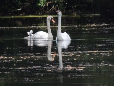 A swan family.