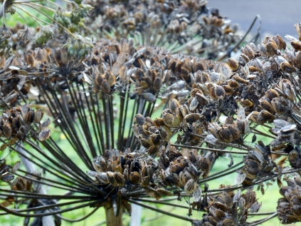 Dying hogweed in Bridgefoot