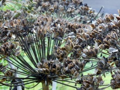 Dying hogweed in Bridgefoot