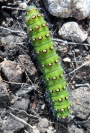 Caterpillar on Balkello Hill
