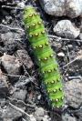 Caterpillar on Balkello Hill