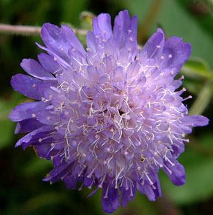 Field Scabious by http://www.flowers.goodpages.co.uk