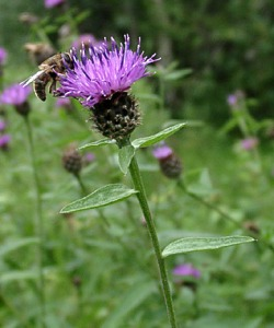 Knapweed by http://www.british-wild-flowers.co.uk