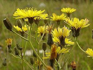 Nipplewort by http://www.british-wild-flowers.co.uk