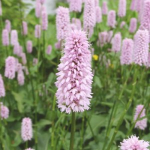 Persicaria by http://www.floraselect.co.uk