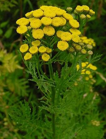 Tansy by http://medicinalherbinfo.org