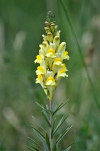Yellow Toadflax by http://urbanbutterflygarden.co.uk