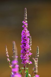 Purple Loosestrife by http://www.rspb.org.uk