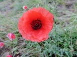 Poppy, Queen's View